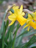 黄色黄水仙特写镜头在庭院里 库存照片