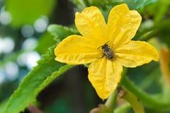 黄色黄瓜花在绿色庭院里 免版税库存图片