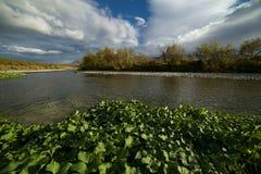 绿色水生植物在河床上 图库摄影