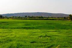 绿色稻田, 免版税库存照片
