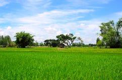 绿色稻田 免版税库存图片
