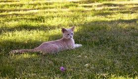 黄色-白色平纹镶边猫休息 免版税库存照片