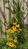 黄色黑眼睛的苏珊花和绿色藤AGA 库存图片