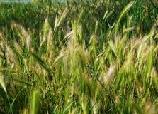 绿色年轻种子草在春天 库存照片