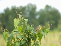 黄色令科之鸟(拉特 Motacilla flava) 库存照片