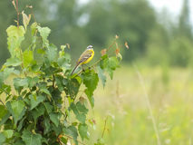 黄色令科之鸟(拉特 Motacilla flava) 库存图片