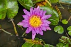 紫色洋红色莲花或荷花在池塘 免版税库存照片