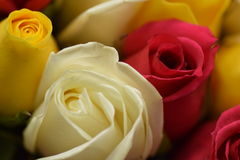 黄色/红色/白玫瑰 免版税图库摄影