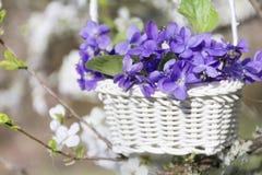 紫色紫罗兰在垂悬在樱桃树的分支的篮子开花 图库摄影