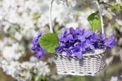 紫色紫罗兰在垂悬在樱桃树的分支的篮子开花 免版税库存图片