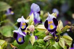 紫色紫罗兰在夏天 图库摄影