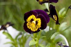 黄色紫罗兰色中提琴 免版税库存图片
