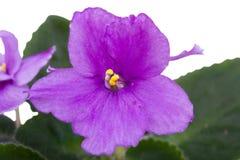 紫色紫罗兰色宏指令 免版税库存照片