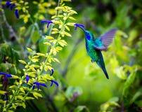 绿色紫罗兰色有耳的蜂鸟 免版税库存图片