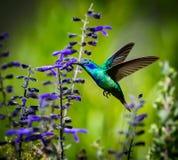 绿色紫罗兰色有耳的蜂鸟 免版税库存照片
