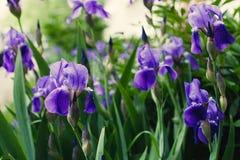 紫色紫罗兰色虹膜花关闭  免版税库存图片