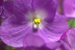 紫色紫罗兰 图库摄影