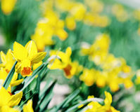黄色黄水仙背景,照片过滤器 库存图片