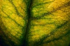 绿色黄色叶子和他的静脉在ligh 库存图片