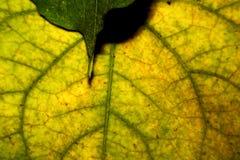 绿色黄色叶子纹理  免版税库存照片