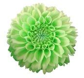 绿色黄色大丽花花,白色背景隔绝与裁减路线 特写镜头 库存照片