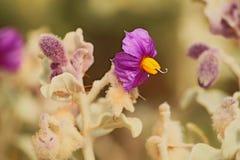 紫色黄色开花的花 免版税库存照片