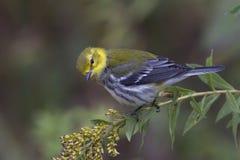 黑色绿色红喉刺莺的鸣鸟 免版税库存照片