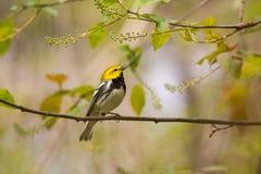 黑色绿色红喉刺莺的鸣鸟 图库摄影