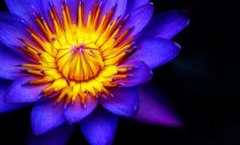 紫色黄色花 免版税库存图片