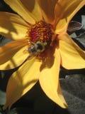 黄色&黑色蜜蜂 图库摄影