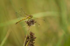 绿色黄色蜻蜓 库存照片