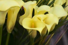 黄色水芋百合花束  库存图片