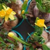 黄色水仙花和一株闭合的风信花在从事园艺的罐 库存照片