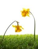 黄色黄水仙花和绿草在蓝色背景 免版税库存照片