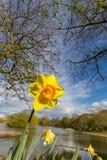 黄色黄水仙花在租约的树下停放,新堡,英国 库存图片