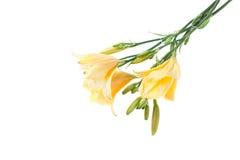黄色黄花菜花束 库存照片
