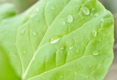 绿色莴苣叶子和水下落 库存图片