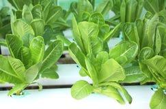绿色莴苣沙拉在水耕的农场 库存照片