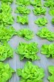 绿色莴苣沙拉种植园 图库摄影