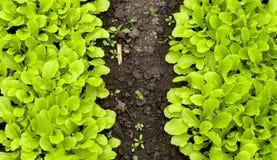 年轻绿色莴苣沙拉自温室 免版税库存照片