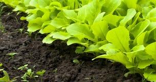 年轻绿色莴苣沙拉自温室 免版税图库摄影