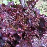 紫色莴苣 库存照片