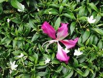 紫色紫荆花和矮人轮转焰火花 库存照片