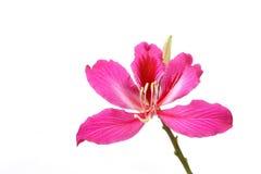 紫色紫荆花 库存照片
