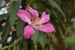 紫色紫荆花 库存图片