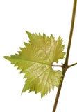 绿色年轻葡萄叶子 库存照片