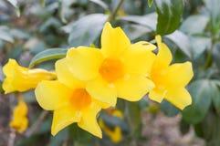 黄色黄蔓花 免版税库存图片