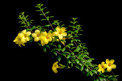 黄色黄蔓 免版税库存图片