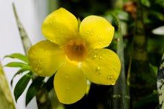 黄色黄蔓 库存照片