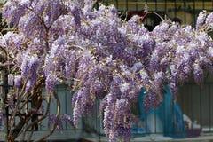 紫色紫藤花在春天 免版税库存照片